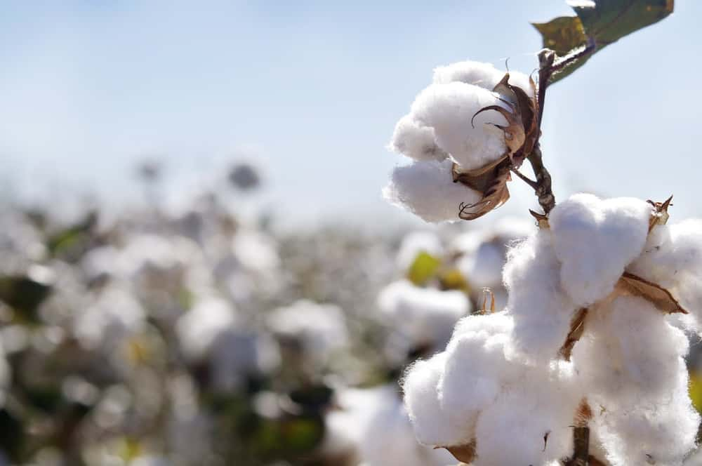 Conventional Cotton uses more insecticides than any other crop that is grown and even after it has been picked and harvested. Learn more about the benefits of choosing Organic Cotton in the bedroom. #organic #cotton #bedding #natural