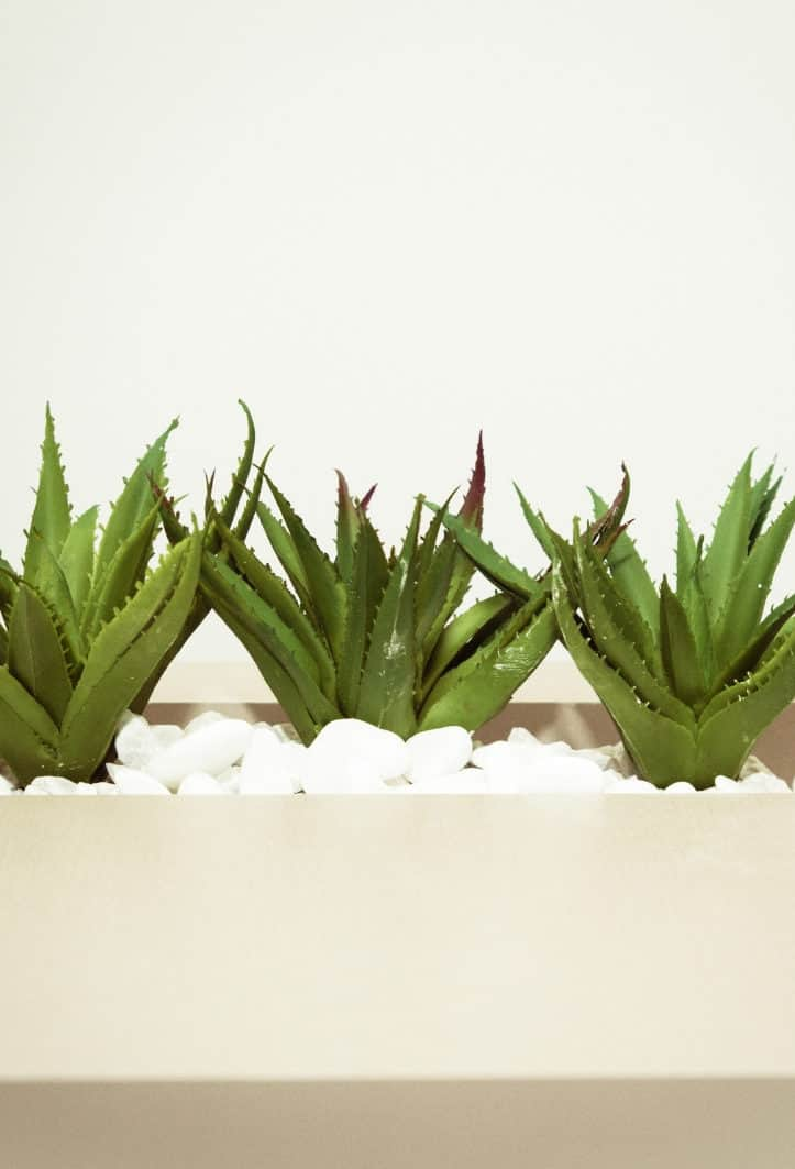 Aloe Vera's use in hair care spans centuries. Its role in treating and preventing hair loss is pivotal, as it has the ability to soothe the scalp and condition hair to leave it soft, smooth and moisturized. Aloe vera gel or juice is perfect for use as a deep conditioner or a pre-shampoo treatment to maintain your hair's health. #hairgrowth #natural #hairloss