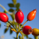 Rosehip Seed Oil Skincare Benefits